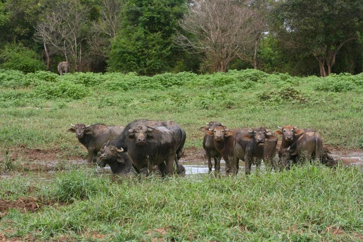 An elephant and a herd of buffalo in the