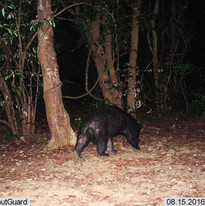 Sloth Bear on our camera trap