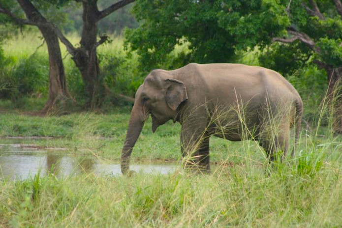 An elephant drinking at the floodplains.