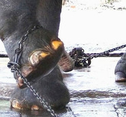 Elephant feet in chains