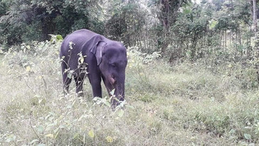 Young elephant injured by Jaw Bomb
