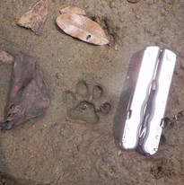 Track of rusty-spotted cat