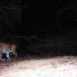 Leopard drinking water