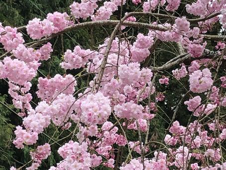 芽吹きの春!満開のさくら・つくし