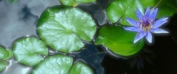 water lily.jpeg