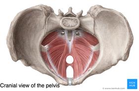 pelvic-floor-cranial-view_1.png