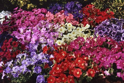 Петуния многоцветковая Карпет микс Petunia multiflora Carpet Mixture