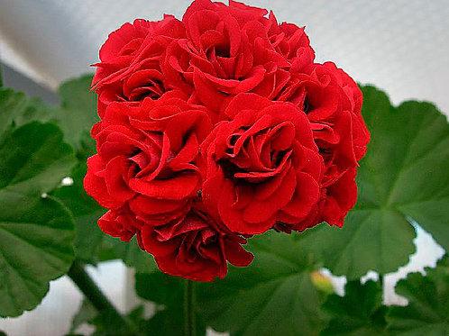 Пеларгония (герань) розебудная Pelargonium Rose Red