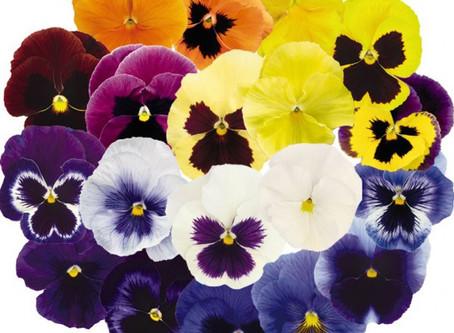 Радуга в Вашем цветнике - Виола.