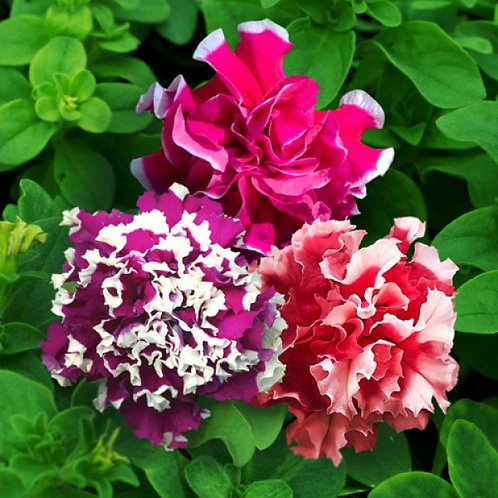 Петуния махровая Пируэт Микс Petunia grandiflora Double Pirouette Mix