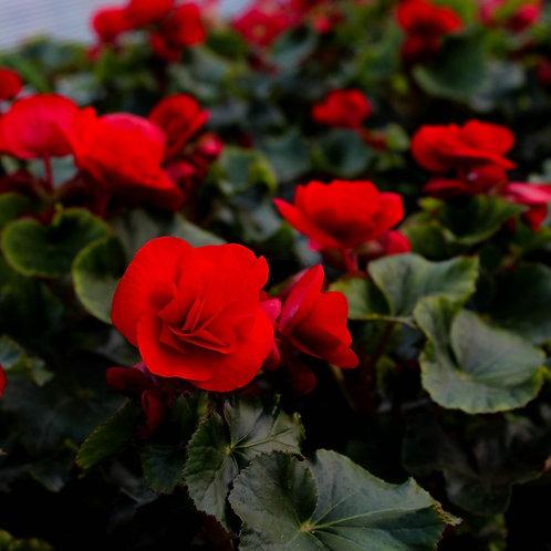 Бегония Соления Красная Begonia Solenia Red Orange