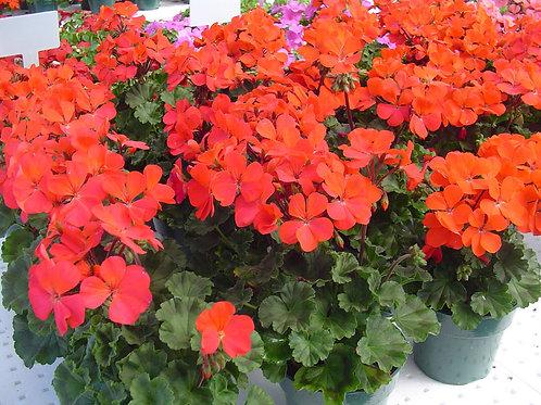 Пеларгония зональная Нано Ред Pelargonium x hortorum Nano Red