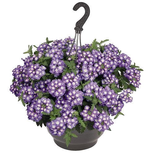 Вербена Empress Sun Lavender Charme, укорененные черенки