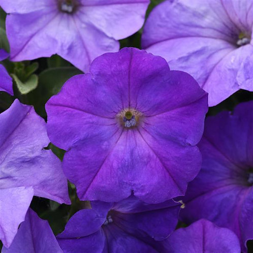 Петуния Изи Вейв Lavander sky  Petunia Easy wave lavender sky