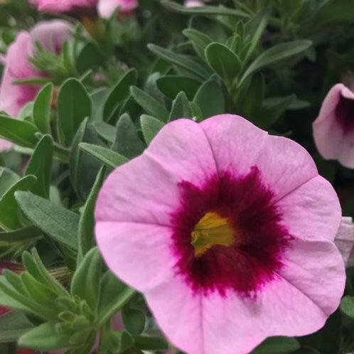 Калибрахоа Aloha Nani Tiki Pink
