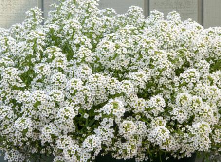 Медовый запах сада - Алиссум.