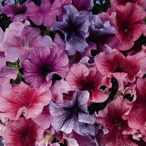 Петуния крупноцветковая Дедди Микс Petunia grandiflora DaddyMix
