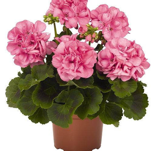 Пеларгония зональная Big Eeze Pink