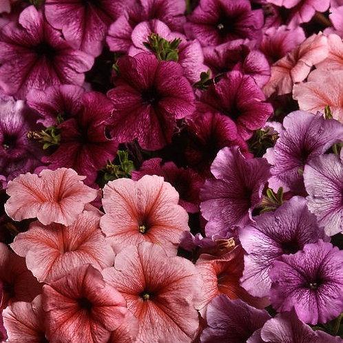 Петуния многоцветковая (Petunia multiflora F1) Mirage Mix Reflections