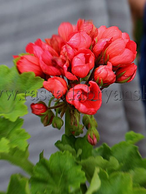 Тюльпановидная пеларгония Red Pandora