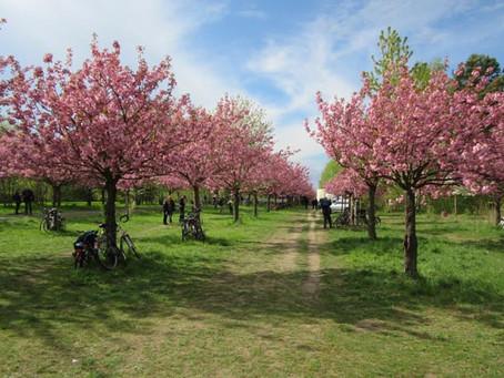 ベルリンの壁跡地に植えられた桜並木