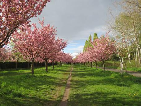 (ベルリンのイベント)2020年4月26日開催予定の「Japanische Kirschblütenfest - Hanami」がコロナウィルスの影響により中止に