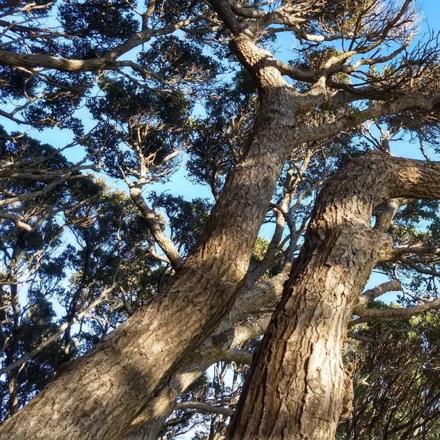 Tree at Massey Memorial