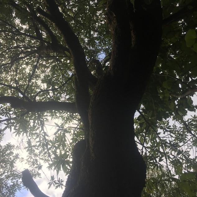Marae Track Tree #3