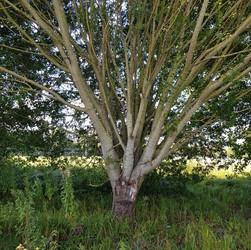 Tree on Thames Path