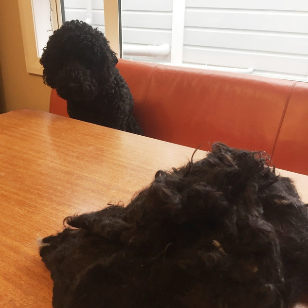 Wool Cycle | Labradoodle's first haircut