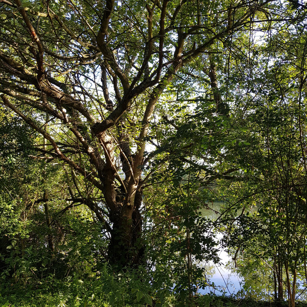 Beech | Thames Path