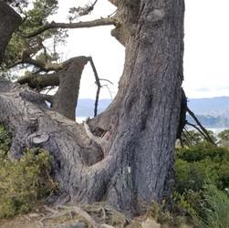 Ancient tree | Te Ahumairangi