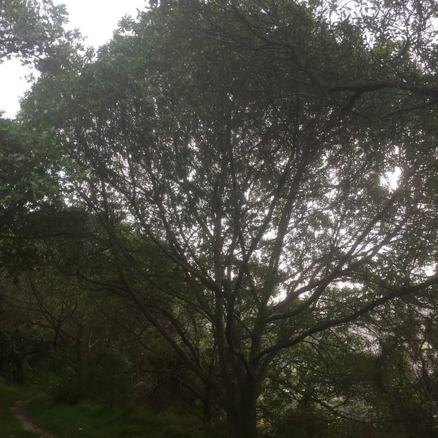 Tawatawa Reserve tree