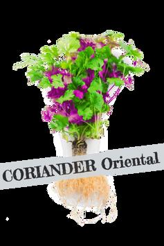 Coriander%20oriental_edited.png