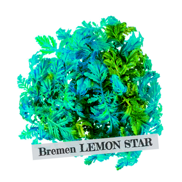 Bremen%20LEMON%20STAR_edited.png
