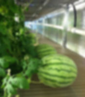 Watermelons on Shelves Garza 1.jpg