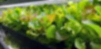 leafy_green.jpg