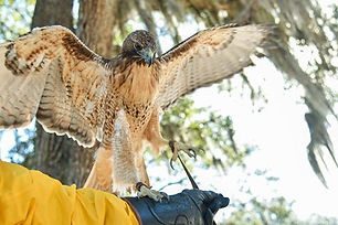 raptors LC hawk.jpg