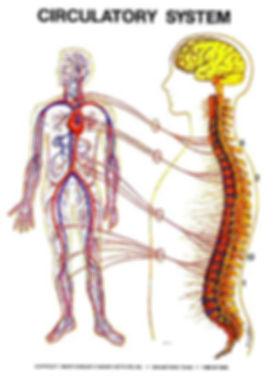 big_circulatory_system.jpg