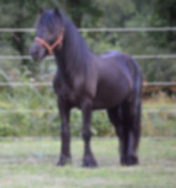 Darkhorsefarms Night Fury, Fell Pony Gelding for sale
