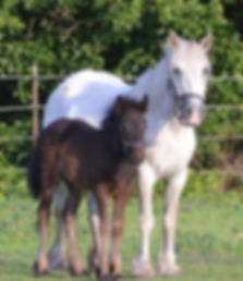 lunesdale mountain heather, fell pony mare, darkhorefarms mountain phoenix, fell pony filly