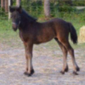 darkhorsefarms mountain phoenix, fell pony mare