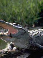 american_alligator louisiana swamp.jpg