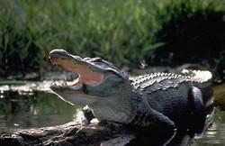 american_alligator louisiana swamp