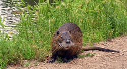 nutria_new orleans