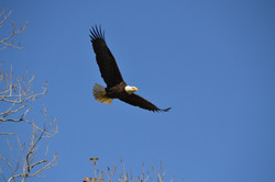 bald_eagle_new_orleans_1