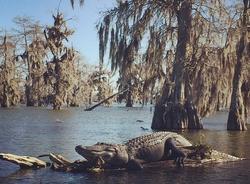 alligator sitting on log