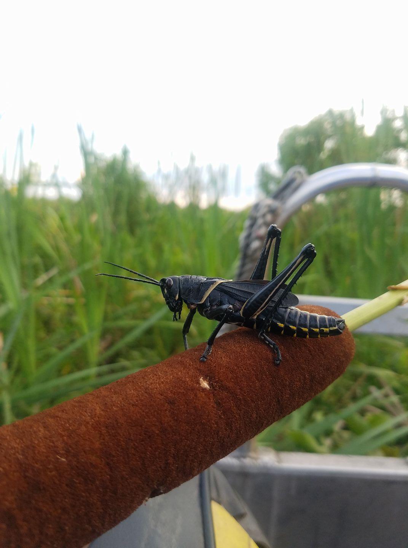 swamp grasshopper