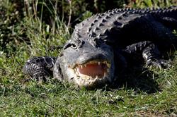 alligator bayou swamp