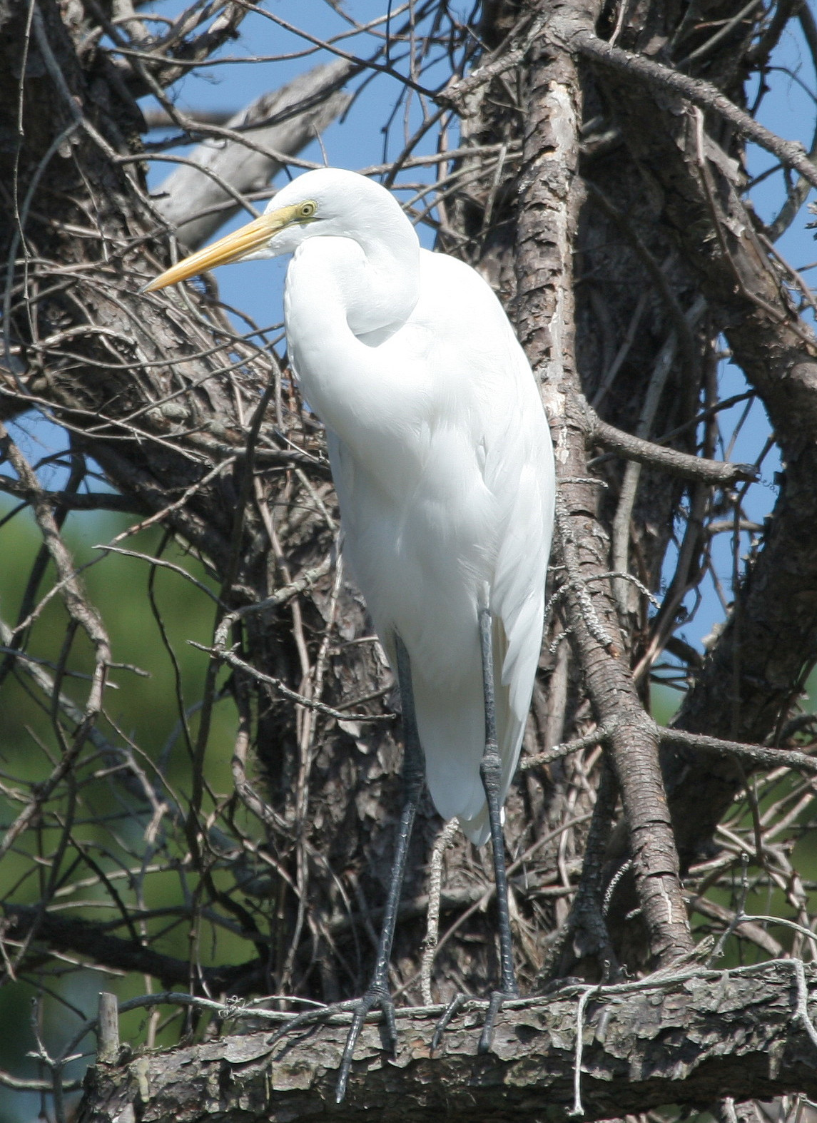 Great Egret New Orleans Swamp